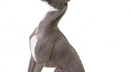 Italian Greyhound Wallpaper For IPhone#1