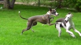 Italian Greyhound Wallpaper For PC