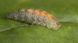 Larvae Wallpaper 1080p