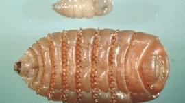 Larvae Wallpaper Free