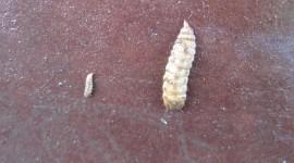 Larvae Wallpaper HD