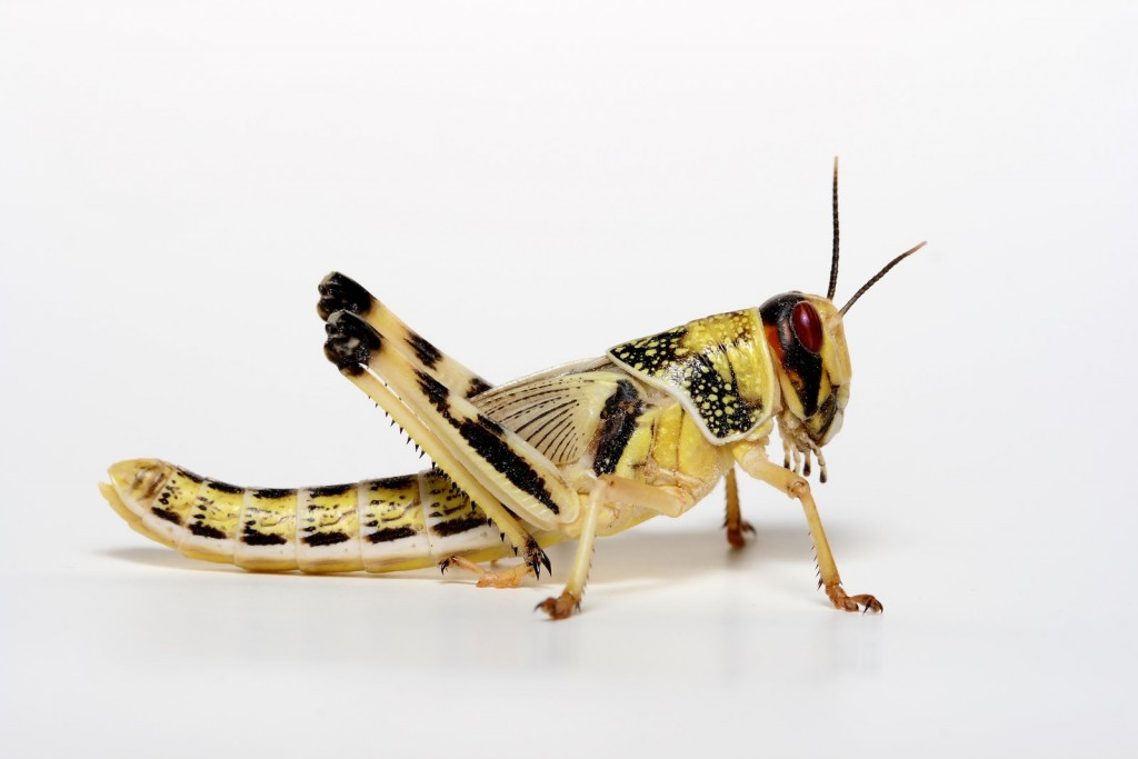 Locusts wallpapers HD