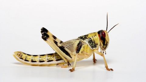 Locusts wallpapers high quality