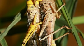 Locusts Wallpaper For IPhone