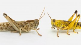 Locusts Wallpaper High Definition