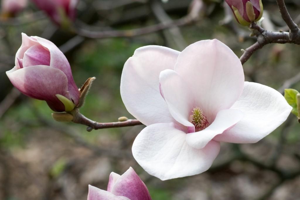 Magnolia wallpapers HD