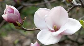 Magnolia Best Wallpaper