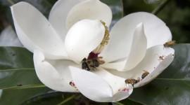 Magnolia Desktop Wallpaper For PC