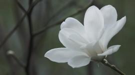 Magnolia High Quality Wallpaper