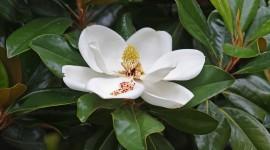 Magnolia Wallpaper Download