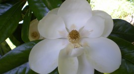 Magnolia Wallpaper Download Free