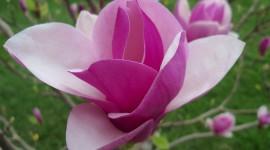 Magnolia Wallpaper Free