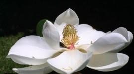 Magnolia Wallpaper HD