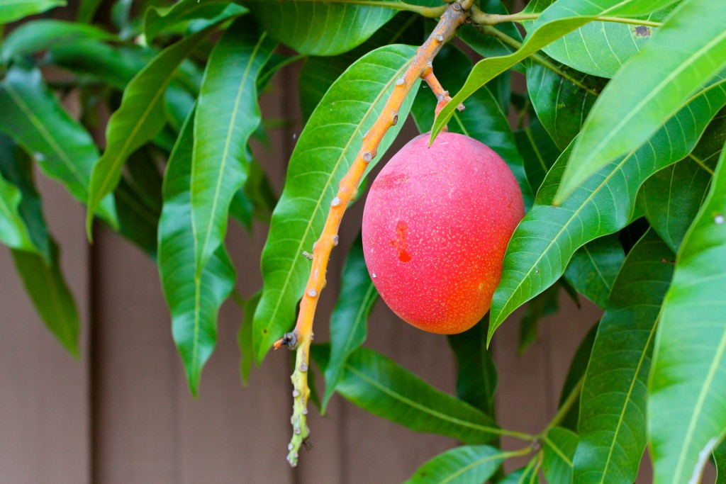 Mango Tree wallpapers HD