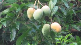 Mango Tree Wallpaper Background