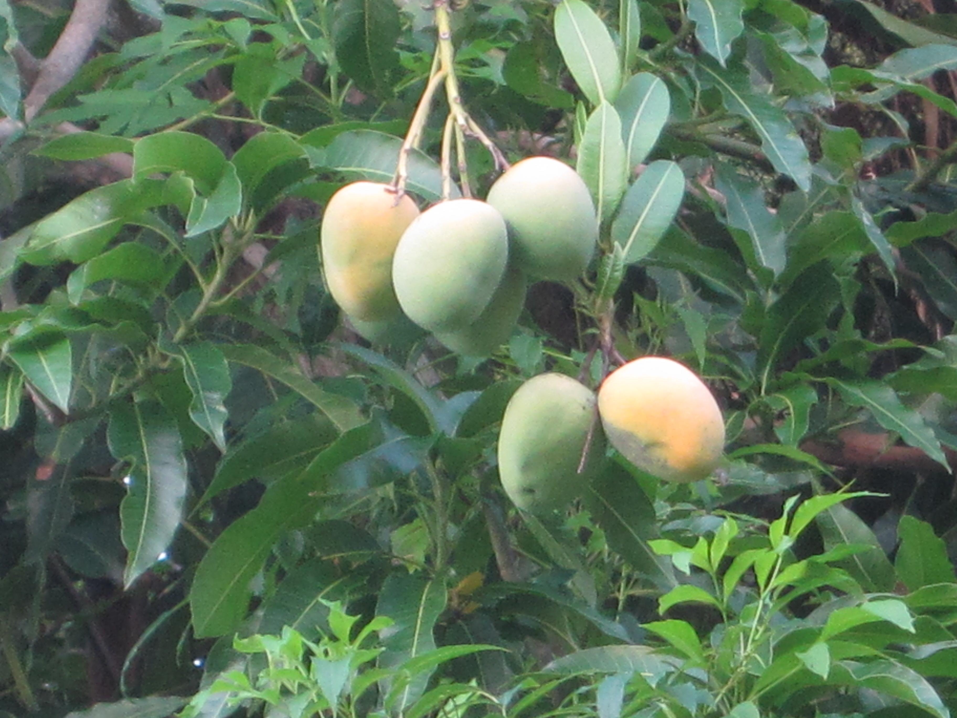 Mango Tree Wallpapers High Quality