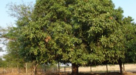 Mango Tree Wallpaper Download