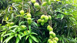 Mango Tree Wallpaper Download Free