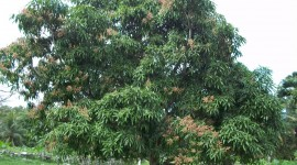 Mango Tree Wallpaper For Desktop
