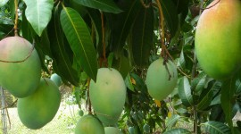 Mango Tree Wallpaper For PC