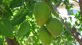 Mango Tree Wallpaper Free