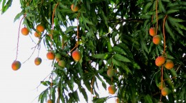 Mango Tree Wallpaper Full HD