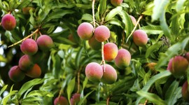 Mango Tree Wallpaper Gallery