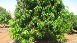 Mango Tree Wallpaper High Definition
