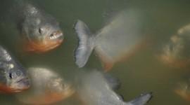 Piranhas Desktop Wallpaper