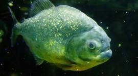 Piranhas Photo Free