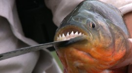 Piranhas Wallpaper 1080p