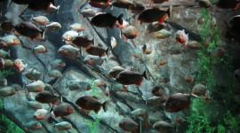 Piranhas Wallpaper For PC