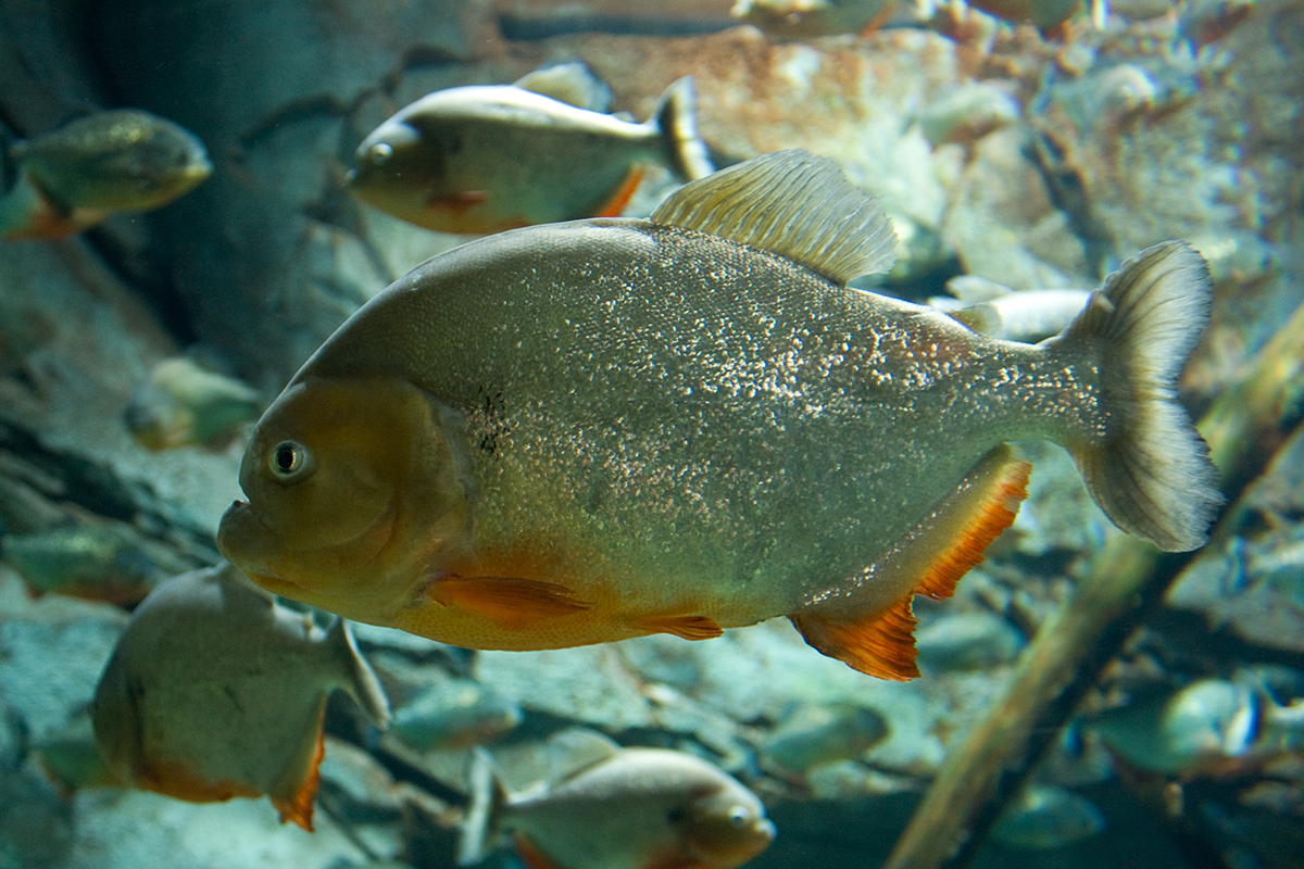 piranhas wallpapers high quality | download free
