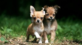 The Smallest Dog Wallpaper