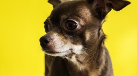 The Smallest Dog Wallpaper For PC