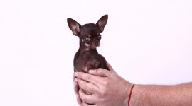 The Smallest Dog Wallpaper High Definition