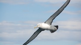 Albatross Photo Download#1