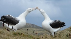 Albatross Photo Free