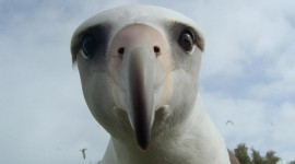 Albatross Photo Free#1