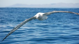 Albatross Photo#1