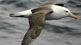 Albatross Wallpaper Download Free