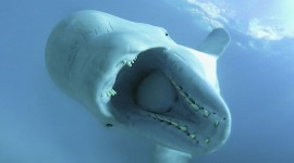 Beluga Photo Download