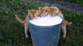 Cat Drinks Milk High Quality Wallpaper
