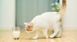 Cat Drinks Milk Wallpaper Download Free