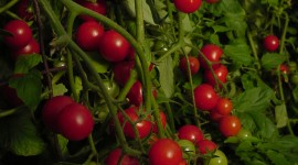 Cherry Tomatoes Wallpaper For Android