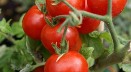 Cherry Tomatoes Wallpaper For IPhone