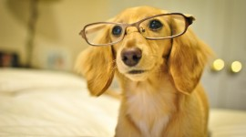 Dog With Glasses Wallpaper Free