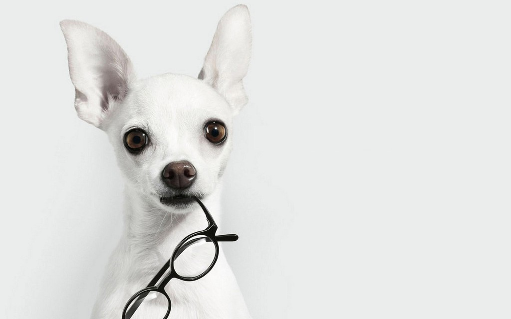 Dog With Glasses wallpapers HD
