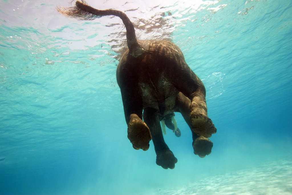 Elephant Swimming wallpapers HD