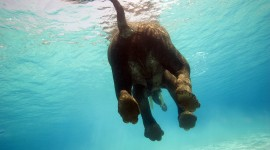 Elephant Swimming Best Wallpaper